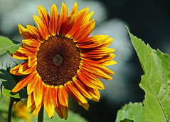 Sunflower...#2 (Guy Lichter Photography - Thank you for 2.5M views) Tags: canada flower canon flora winnipeg manitoba sunflower assiniboinepark canon14xteleconverter canonef400mmf56l 5d3 assiniboineparkgardens