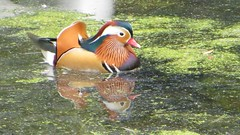 Canard 1 (bruno.snow) Tags: brussels belgium belgique ducks bruxelles canards faune canardmandarin