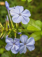 Caprinella (Giovanni Bertagna Alfredo) Tags: flora natura cielo bella fiore azzurro plumbago pétale bellezza giardino celeste capensis rampicante arbusto sottile steli arbustiva inflorescenza caprinella