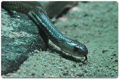 Indian Cobra or Naja Naja (Venkataramesh.Kommoju) Tags: nikon cobra head fangs hyderabad venom zoopark zoologicalpark nehruzoologicalpark hyderabadzoo indiancobra d5000 hyderabadzoologicalpark