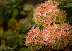 Pretty Viburnum (Rick Smotherman) Tags: flowers stpeters fall nature leaves canon garden outdoors morninglight backyard october cloudy overcast 7d cloudysky canon7d canon100mmf28l