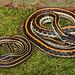 Eastern Gartersnake vs. Orange-striped Ribbonsnake