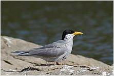 """river tern • <a style=""""font-size:0.8em;"""" href=""""http://www.flickr.com/photos/109145777@N03/10940855006/"""" target=""""_blank"""">View on Flickr</a>"""
