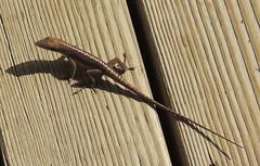 Green Anole (Anita363) Tags: fauna hawaii reptile lizard kauai hi greenanole nonnative lihue anolis squamata iguania anoliscarolinensis carolinaanole polychrotidae geotagmanual