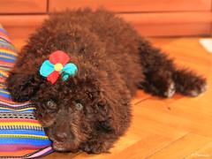 009066 - Sofía (M.Peinado) Tags: dog dogs animal canon sofía perro perros animales perra 2013 ccby perrodeaguas canoneos60d noviembrede2013 17112013
