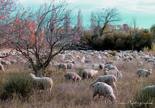 Moutons dans la vallée des Baux .