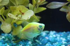 Fish (tab217) Tags: fish green aquarium fishtank neontetra