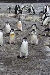 Antarctica - Day six0857 (GLRPhotography) Tags: snow ice penguin antarctica chinstrap deceptionisland 100400 baileyhead