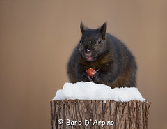 A crab apple a day :) (Barb D'Arpino Photography) Tags: autumn ontario canada cold cute fall nature outdoors squirrel wildlife adorable northamerica wasagabeach blacksquirrel squirrelinthesnow naturethroughmyeyescom barbaralynne canon1dx copyrightbarbdarpino barbaralynnedarpino squirrelenjoyingcrabapple