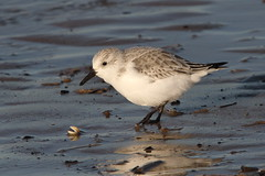 Sanderling, RSPB Titchwell, Norfolk  {Explore - 14/12/2013 - Highest Position 22} (Andy_Hartley) Tags: norfolk explore sanderling titchwell rspb wader flickrexplore explored rspbtitchwell