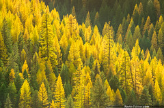 Sunlit Larch (kevin-palmer) Tags: autumn trees light sunlight color green fall yellow forest gold golden evening october montana colorful vibrant sunny telephoto backlit needles sunlit lolo larch bitterrootmountains lolonationalforest takumar135mmf25 pentaxk5