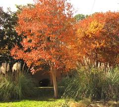 SX10-IMG_12326 (old.curmudgeon) Tags: tree flora texas aurumn 5050cy canonsx10is