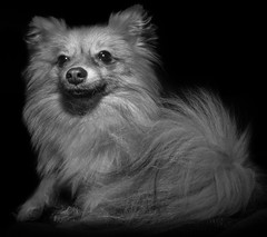 Boo the Pomeranian. . . (CWhatPhotos) Tags: black white mono monochrome blackwhite photographs photograph pics pictures pic picture image images foto fotos photography artistic cwhatphotos that have which with contain epl5 olympus pen lite esystem four thirds digital camera lens olympuspen sanyang 75mm 35 f35 fisheye fish eye samyang manual focus wide view 43 fit mft micro animal pet cute portrait brown sandy coloured colored dog boo pom pomeranian zwergspitz dwarfspitz dwarf spitz pompom ldlportraits thelittledoglaughed ldlnoir