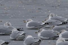 Common Gull (surfbird917) Tags: city ny newyork bird sam adult gull stuart daytime common rare mew larus canus