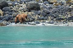 _MG_4379a (markbyzewski) Tags: alaska ugly brownbear grizzlybear glacierbaynationalpark