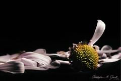 """She Loves Me/She Loves Me Not"" (skippys1229) Tags: stilllife flower macro love canon rebel petals 100mm daisy ocala macrolens 2014 marioncounty shelovesme shelovesmenot canonef100mmmacrousm 752 52weeks offcameraflash childsgame canonef100mmf28macrousm strobist offcameralighting ocalafl ocalaflorida marioncountyfl pullingpetals rebelt1i t1i canonrebelt1i 52weeksof2014 {vision}:{outdoor}=0978 {vision}:{dark}=071"