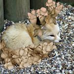 Foxglove thumbnail