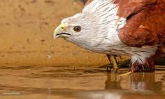Garuda's Thirst (Sandeep Somasekharan) Tags: india kite bird birding kerala raptor indus trivandrum poovar haliastur brahmini