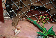 Fossa in Captivity (cowyeow) Tags: africa zoo african unique wildlife tana madagascar rare carnivore antananarivo fossa