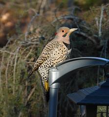 Northern Flicker (Yellow-Shafted) (BIRD NERD - Marigami) Tags: birds northern flicker yellowshafted