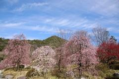 ()Ume (Japanese apricot) flowers (() Art Project) Tags:    nenbutsushusanpouzanmuryojuji theroyalgrandhallofbuddhism muryojuji