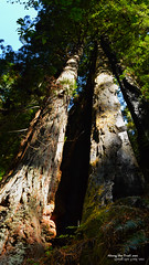 Redwood Reach (AlongTheTrail Photography) Tags: giant redwoods nationalparks sequoia californiavacation californiastateparks californianationalparks printsforsale gianttrees awesometrees fineartamerica gppg alongthetrailnet redwoodprints redwoodphotos