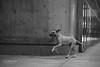 _livre pra correr (.merchan) Tags: pictures city brazil urban blackandwhite bw dog pet pets cão animal brasil canon photo foto photographer sãopaulo pb perro sp cachorro urbano pretoebranco paulista t3i avpaulista metrópole cenaurbana blackwhitephotos jornadafotográfica saídasfotográficas saídafotográfica doguealemão cidadesbrasileiras cityofsaopaulo yourcountry fotocultura yuribittar abnermerchan canoneosrebelt3i 35fotocultura 35ªsaídafotocultura