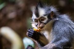 Thomas Leaf Monkey 4688 (Ursula in Aus (Resting - Away)) Tags: animal sumatra indonesia unesco bukitlawang gunungleusernationalpark earthasia sumatrangrizzledlangur thomasslangur presbytisthomasi thomasleafmonkey