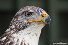 Bird Of Prey (DMeadows) Tags: davidameadows davidmeadows dmeadows dameadows bird prey beak eye feathers head aberfoyle trossachs wildlife scotland topf25