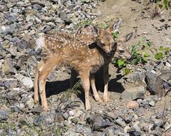 fawns (rwtrent) Tags: nikon wildlife deer yellowstone rwtrent