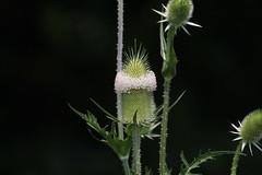 IMG_6566 Wild Teasel (John Pohl2011) Tags: plant flower canon john blossom bloom wildflower 100400mm pohl t4i 100400mmlens canont4i