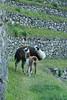 Peru-8614.jpg (Matt and Debbie) Tags: peru llama 2015 wayna winaywayna wiñay