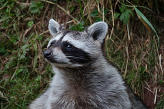 RJB_4432.jpg (Snoop Baggie Bag) Tags: 2015 daltoninfurness holiday lakedistrict southlakes southlakessafarizoo raccoon