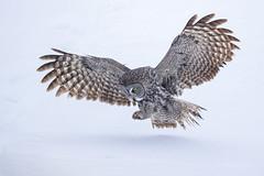 Pounce.... (DTT67) Tags: greatgrayowl grayowl owl birds birdofprey hunting bif winter snow nature nationalgeographic wildlife canon 1dxmkii 500mmii northamerica