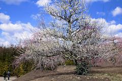 デカ梅 (mizuk@) Tags: japan mie flower colorful pink plum canon 三重 鈴鹿の森庭園 梅 花