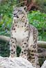 Snow leopard (ZakochanaWeMgle) Tags: snow leopard ounce panthera uncia cat bigcat panther zoo