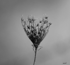 Just me (borneirana) Tags: flor flores flower bw blackandwhite blancoynegro deseos semilla macrophotography macro loneliness nature naturaleza natur naturlandwirdschaft natureza green galicia