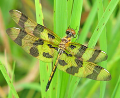 awaiting summer Halloween's ... (Vicki's Nature) Tags: halloweenpennant dragonfly immature male brown gold golden spots wings grass threecolors hickorylogreservoir lake georgia vickisnature canon s5 1535 dof