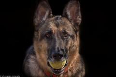 Love My Ball (kmac1960) Tags: germanshepherd canon tamron canine shawneemissionpark shawneemissiondogpark