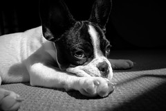 French Bulldog (sulphotography) Tags: shadow bw dog white black cute puppy french bulldog lazy lovely