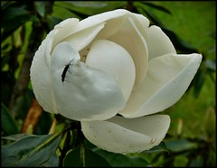 Our Magnolia Bloom CloseUp w DoubleBug (oldusephemera) Tags: city blue original light shadow red portrait people favorite woman dog pet house man flower detail cute art nature face leaves weather animal yellow closeup contrast cat fence pose garden dark bench photo funny colorful child purple artistic candid best deli emotional darling bnw viral