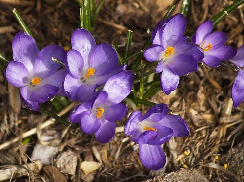 Crocus bloom in April