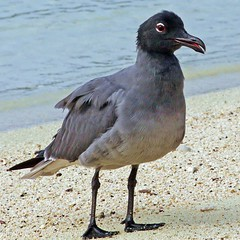 Galapagos Lava Gull on Beach (masaiwarrior) Tags: specanimal