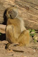 Wistful........ (Duncan Blackburn) Tags: nature mammal nikon wildlife baboon botswana chobe kasane chacma supershot specanimal mygearandme blinkagain 5wonderwall sunrays5 vigilantphotographersunite vpu2 vpu3 vpu4 vpu5
