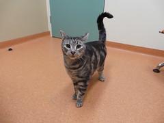 Turbo (Rayya The Vet) Tags: cat feline vet anaesthetic silvertabby twitter vetexam vetsurgery catfightabscess