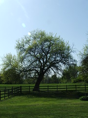 Family Tree (Ela Lorian) Tags: tree green grass yard fence branches