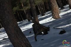 Pinar de Covaleda (Historia de Covaleda) Tags: espaa spain fiesta recuerdo antiguos antigua deporte fotografia pinos pino soria historia lagunanegra pinar tradicion duero urbion covaleda