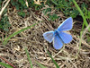 True Blue (Mr Grimesdale) Tags: butterfly commonblue stevewallace mrgrimesdale britishbuterflies