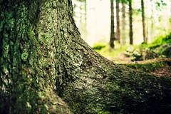 230 year old fir (netzanette) Tags: wood nature forest 50mm woods nikon sweden bokeh roots naturallight fir gran d600 naturreservat piceaabies nikond600 ovansjöekopark