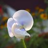the gift (uteart) Tags: flower mexico weed bloom puertovallarta thegift amapas utehagen uteart blinkagain olympusomdem5 copyright©utehagen2013allrightsreserved trailingweed